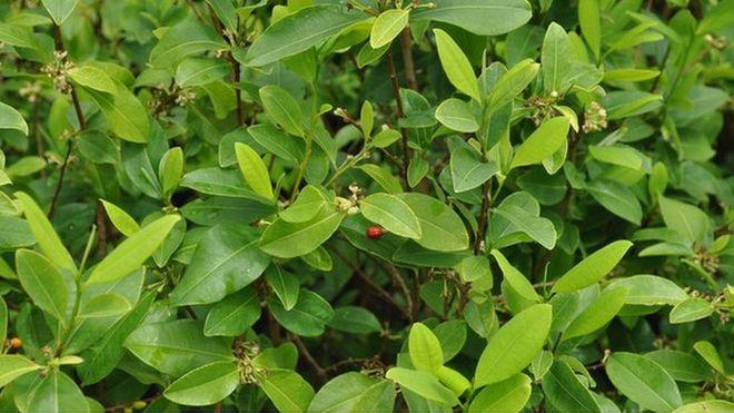Lá coca được trồng để dùng cho y học, nhưng cũng là nguyên liệu thô của cocain